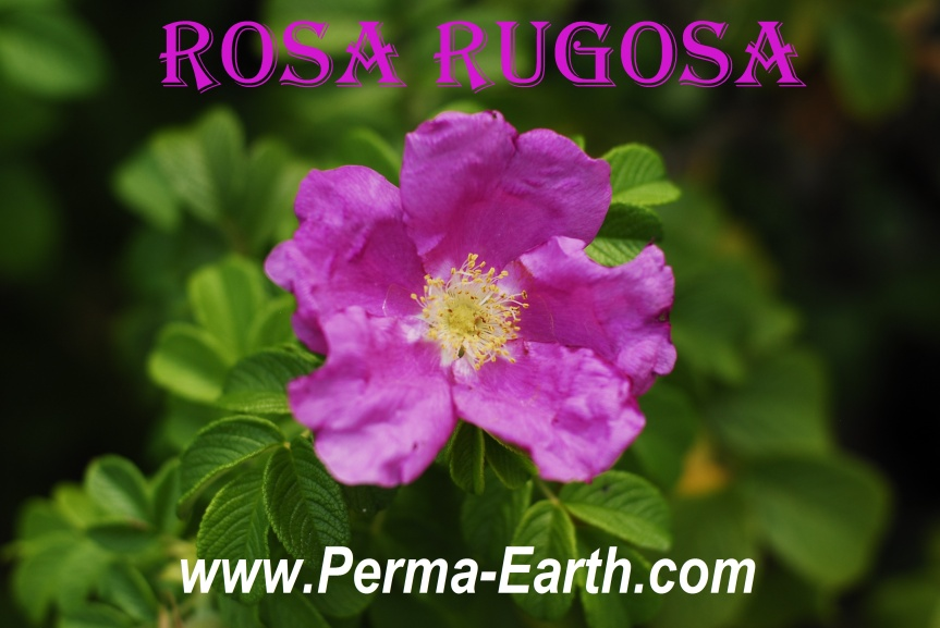 Grow Roses for Beauty, Food, andHealth